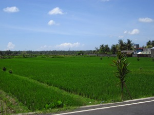 Rice fields en route to Ubud