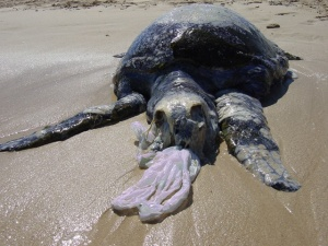 This turtle died after eating a plastic bag